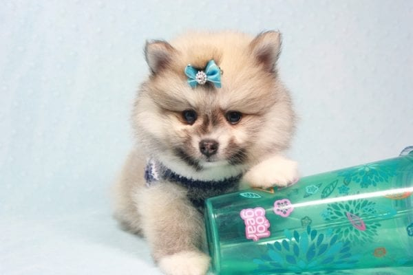Prince Harry - Small Pomeranian Puppy Found His Lving Home with That Dong from Lakewood CA-12100