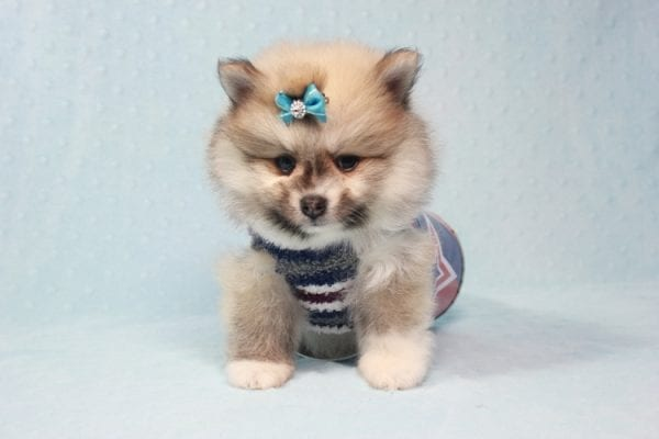 Prince Harry - Small Pomeranian Puppy Found His Lving Home with That Dong from Lakewood CA-12102