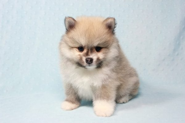 Prince Harry - Small Pomeranian Puppy Found His Lving Home with That Dong from Lakewood CA-12098