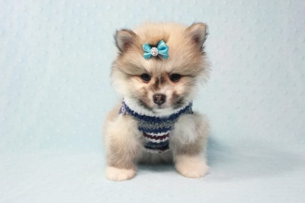 Prince Harry - Small Pomeranian Puppy Found His Lving Home with That Dong from Lakewood CA-12099