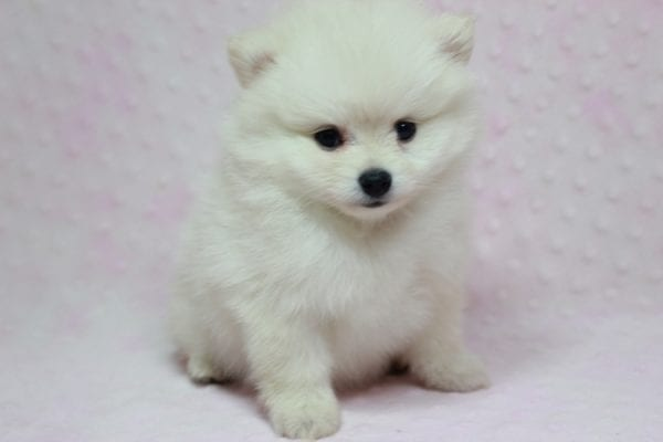 Queen - Small Pomeranian Puppy in L.A Found A new loving Home With Monica Sylmar Ca 91342 -12179