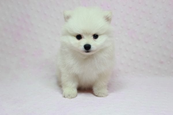 Queen - Small Pomeranian Puppy in L.A Found A new loving Home With Monica Sylmar Ca 91342 -12180