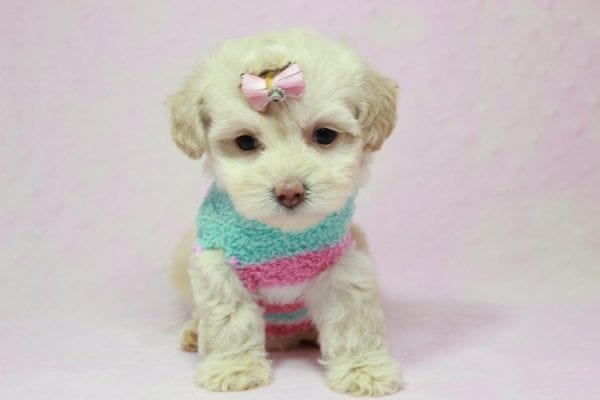 Serena Williams - Teacup Maltipoo Puppy In L.A Found A New Loving Home -12114