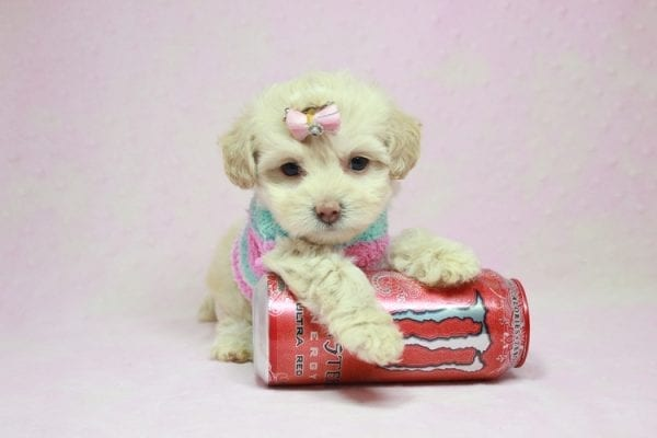 Serena Williams - Teacup Maltipoo Puppy In L.A Found A New Loving Home -12117