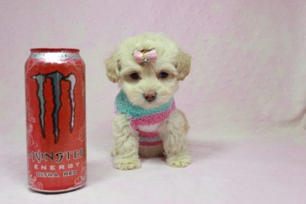 Serena Williams - Teacup Maltipoo Puppy In L.A Found A New Loving Home -0