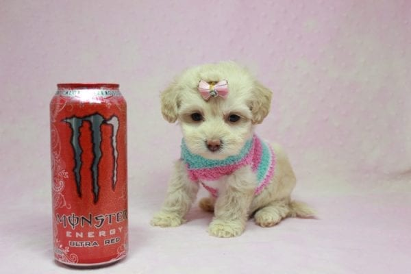 Serena Williams - Teacup Maltipoo Puppy In L.A Found A New Loving Home -12123