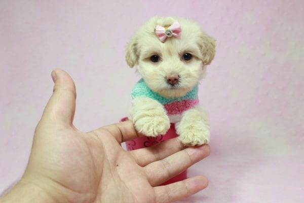 Serena Williams - Teacup Maltipoo Puppy In L.A Found A New Loving Home -12124