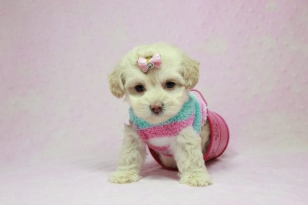 Serena Williams - Teacup Maltipoo Puppy In L.A Found A New Loving Home -12115