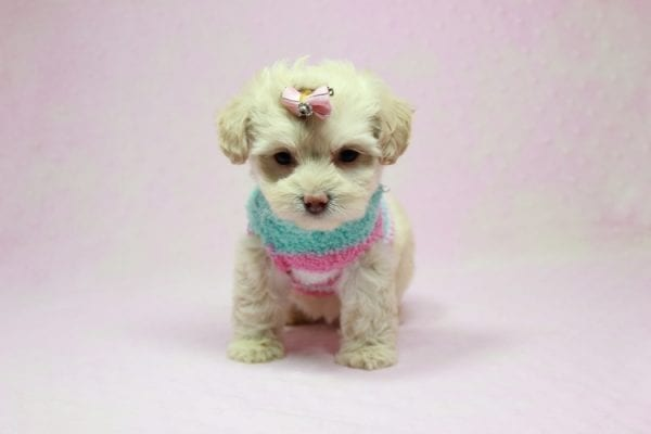 Serena Williams - Teacup Maltipoo Puppy In L.A Found A New Loving Home -12113