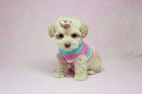 Serena Williams - Teacup Maltipoo Puppy In L.A Found A New Loving Home -12122