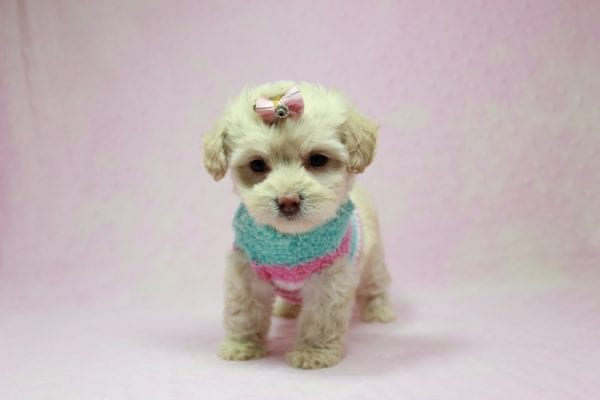 Serena Williams - Teacup Maltipoo Puppy In L.A Found A New Loving Home -12121