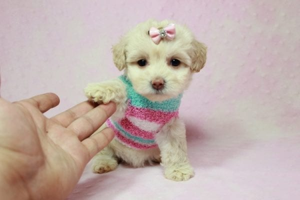 Serena Williams - Teacup Maltipoo Puppy In L.A Found A New Loving Home -12118