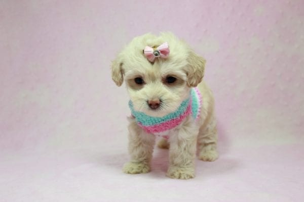 Serena Williams - Teacup Maltipoo Puppy In L.A Found A New Loving Home -12119
