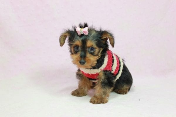 Simone Biles - Teacup Yorkie Puppy In L.A Found A New loving Home -12002