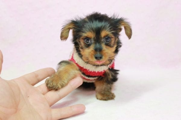 Simone Biles - Teacup Yorkie Puppy In L.A Found A New loving Home -12003