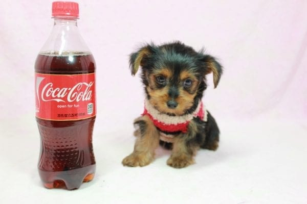 Simone Biles - Teacup Yorkie Puppy In L.A Found A New loving Home -0