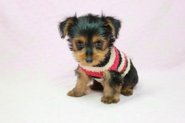 Simone Biles - Teacup Yorkie Puppy In L.A Found A New loving Home -12004