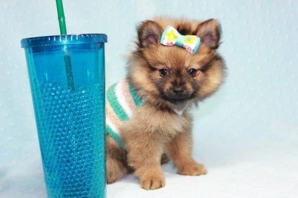 Superman - Teacup Pomeranian Puppy in CA Found A New Loving Home With Sheryl From National City CA -12289