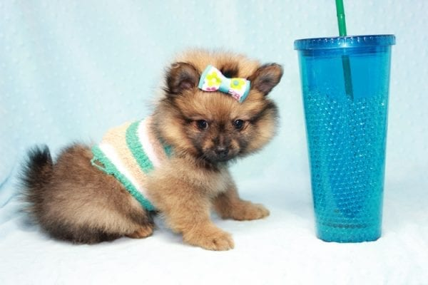 Superman - Teacup Pomeranian Puppy in CA Found A New Loving Home With Sheryl From National City CA -12286