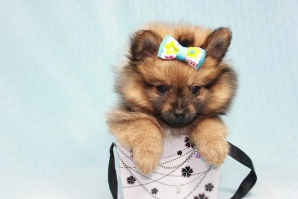 Superman - Teacup Pomeranian Puppy in CA Found A New Loving Home With Sheryl From National City CA -12288