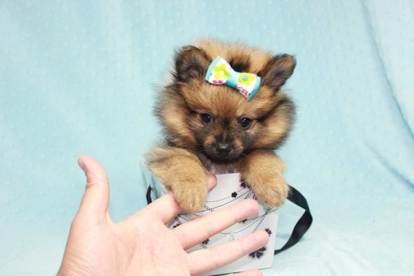 Superman - Teacup Pomeranian Puppy in CA Found A New Loving Home With Sheryl From National City CA -12284