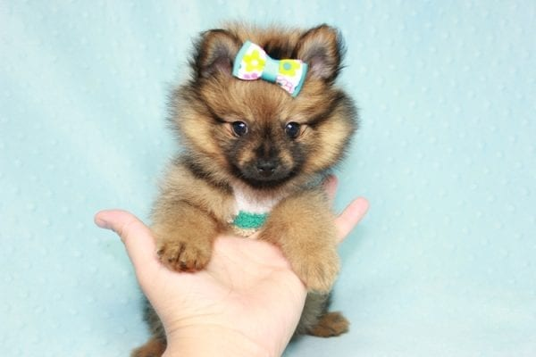 Superman - Teacup Pomeranian Puppy in CA Found A New Loving Home With Sheryl From National City CA -12292