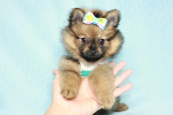 Superman - Teacup Pomeranian Puppy in CA Found A New Loving Home With Sheryl From National City CA -12285