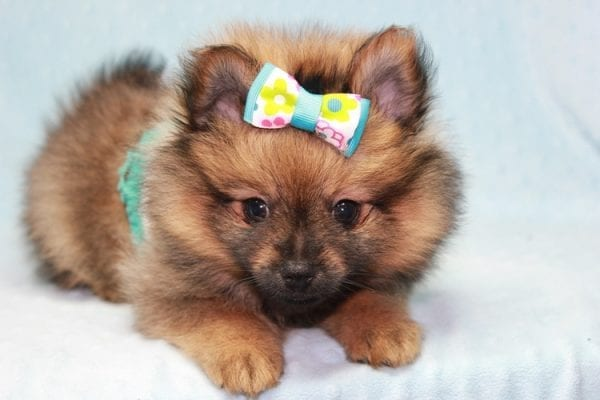 Superman - Teacup Pomeranian Puppy in CA Found A New Loving Home With Sheryl From National City CA -12283