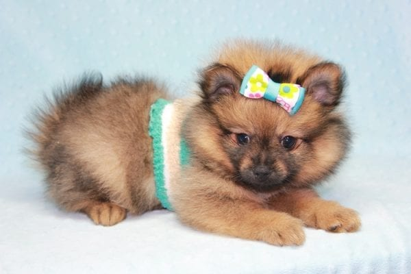Superman - Teacup Pomeranian Puppy in CA Found A New Loving Home With Sheryl From National City CA -12291