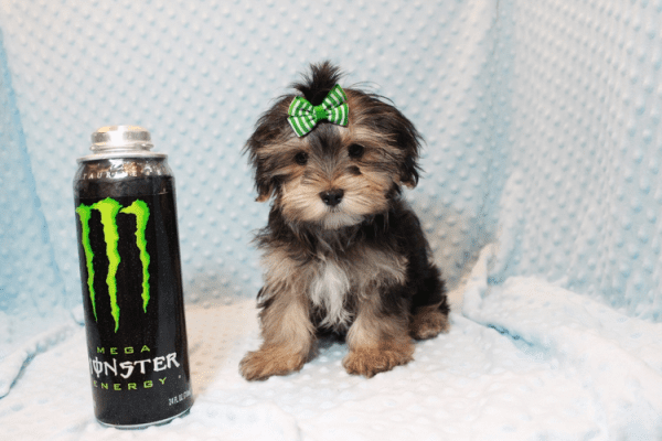 T-Mobile - Teacup Morkie Puppy has found a good loving home with Jamie from Las Vegas, NV 89108-0