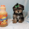 T-Mobile - Teacup Morkie Puppy has found a good loving home with Jamie from Las Vegas, NV 89108-12384