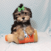 T-Mobile - Teacup Morkie Puppy has found a good loving home with Jamie from Las Vegas, NV 89108-12382