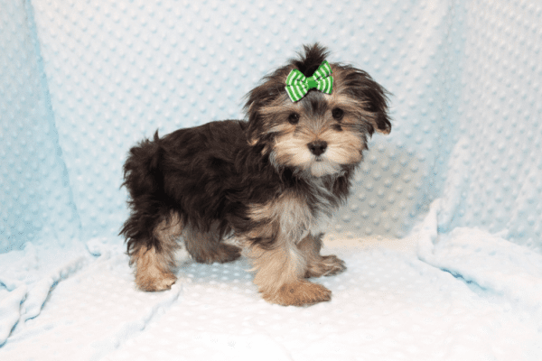 T-Mobile - Teacup Morkie Puppy has found a good loving home with Jamie from Las Vegas, NV 89108-12380