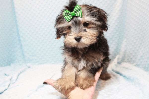 T-Mobile - Teacup Morkie Puppy has found a good loving home with Jamie from Las Vegas, NV 89108-12381