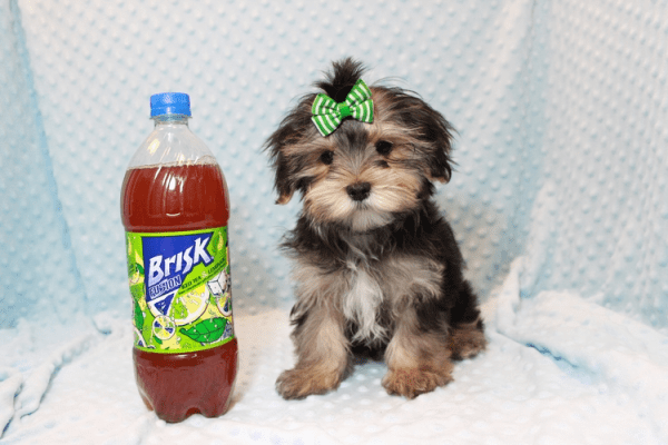 T-Mobile - Teacup Morkie Puppy has found a good loving home with Jamie from Las Vegas, NV 89108-12383