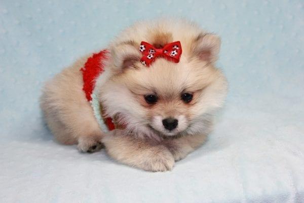 Teddy Bear - Teacup Pomeranian Puppy has found a good loving home with Kerri from Northridge, CA 91325-12297