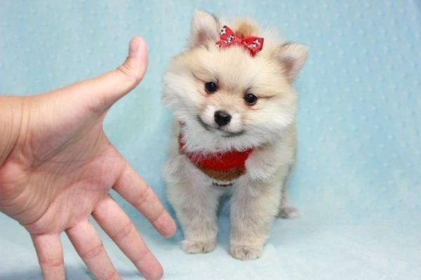 Teddy Bear - Teacup Pomeranian Puppy has found a good loving home with Kerri from Northridge, CA 91325-12303