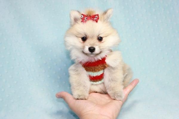 Teddy Bear - Teacup Pomeranian Puppy in CA
