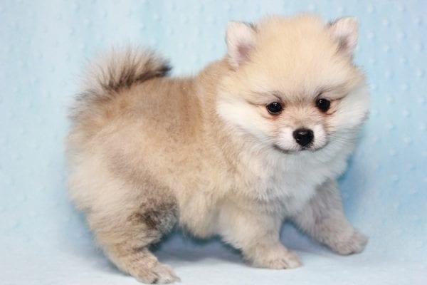 Teddy Bear - Teacup Pomeranian Puppy has found a good loving home with Kerri from Northridge, CA 91325-12296