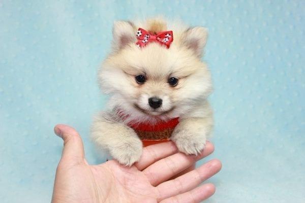 Teddy Bear - Teacup Pomeranian Puppy has found a good loving home with Kerri from Northridge, CA 91325-12294