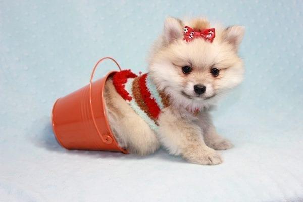 Teddy Bear - Teacup Pomeranian Puppy has found a good loving home with Kerri from Northridge, CA 91325-12304