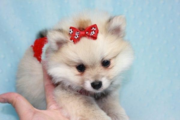 Teddy Bear - Teacup Pomeranian Puppy has found a good loving home with Kerri from Northridge, CA 91325-12299