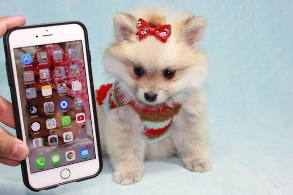 Teddy Bear - Teacup Pomeranian Puppy has found a good loving home with Kerri from Northridge, CA 91325-12295