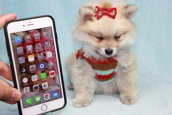 Teddy Bear - Teacup Pomeranian Puppy has found a good loving home with Kerri from Northridge, CA 91325-12298