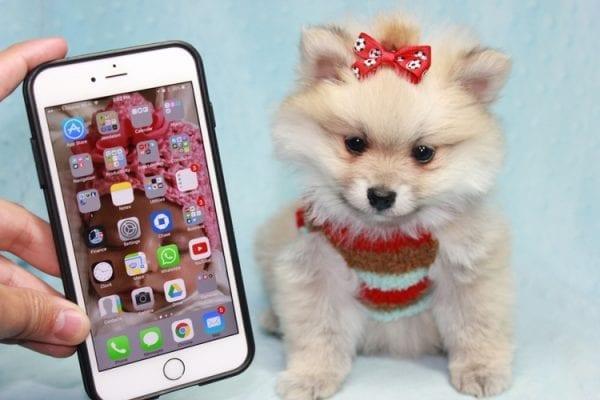 Teddy Bear - Teacup Pomeranian Puppy has found a good loving home with Kerri from Northridge, CA 91325-12300
