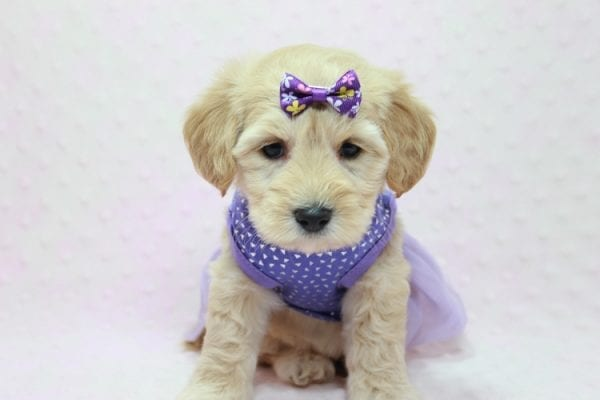 Blondie - Toy Maltipoo Puppy Found Her Loving Home with William from Castaic CA 91384-12532