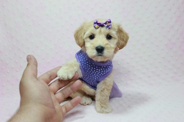 Blondie - Toy Maltipoo Puppy Found Her Loving Home with William from Castaic CA 91384-12529