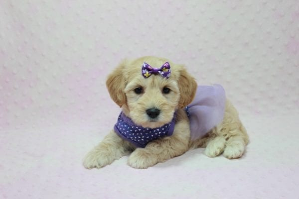 Blondie - Toy Maltipoo Puppy Found Her Loving Home with William from Castaic CA 91384-12534