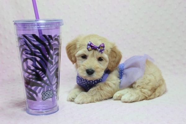 Blondie - Toy Maltipoo Puppy Found Her Loving Home with William from Castaic CA 91384-12540