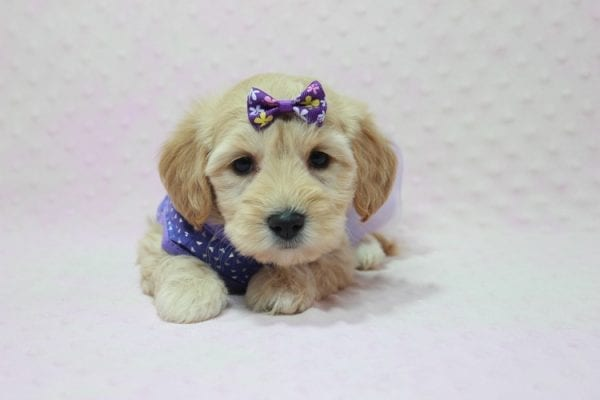 Blondie - Toy Maltipoo Puppy Found Her Loving Home with William from Castaic CA 91384-12538